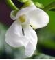 大福豆の花