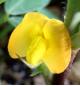 落花生の花