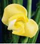 あずきの花