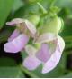 金時豆の花