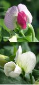 えんどうの花