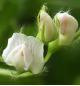 レンズまめの花