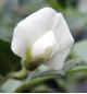 ひよこまめの花